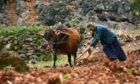 Harte Arbeit – das Pflanzen von Setzlingen auf dem Bergplateau Dong Van