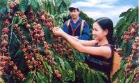 Dac Lac fördert den Kaffeeanbau