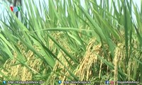 Rice exporters enjoy successful year