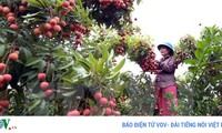 Vietnam becomes world's second largest lychee exporter