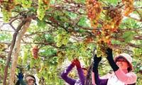 เทศกาลองุ่นและไวน์ นิงห์ถวน -ไฮไลต์ของการท่องเที่ยวนิงห์ถวนปี2019