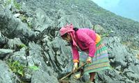 เผ่าม้งพิชิตเขาหินด้วยเทคนิคการเพาะปลูกบนหิน