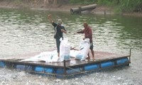 Vietnamese businesses strictly control Tra, Basa fish farming