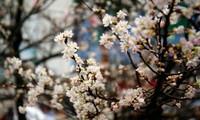 10,000 cherry blossoms celebrate Vietnam, Japan ties
