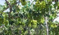 宁顺省举行2016年葡萄与葡萄酒节
