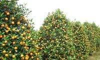 越南中部会安市举行2017年锦河观赏小橘子节