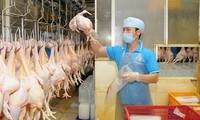 越南第一批鸡肉将于9月9日出口日本