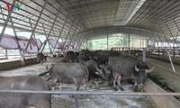 Das größte Modell sauberer Landwirtschaft in der Provinz Yen Bai