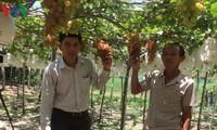 Fest der Trauben und Wein in Ninh Thuan 2019 fasziniert zahlreiche Touristen