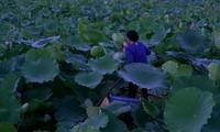 Aroma von Lotusblüten im Tee