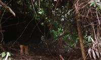 베트남 퐁냐-께방 국립공원에서 들소, 사올라 발견