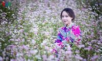 Красота цветков гречихи в горных районах Вьетнама