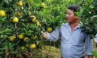 Успехи провинции Хынгйен в выращивании апельсинов