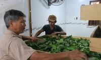 La sériciculture fait la richesse de Binh Thuân