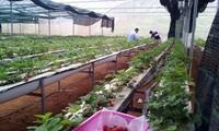 Développer l'agriculture de hautes technologies à Son La