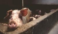 UE: la République tchèque devient le premier pays à se débarrasser de la peste porcine africaine