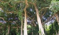 Cây đa 800 năm tuổi ở Sơn Trà trở thành Cây di sản Việt Nam