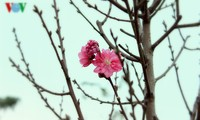 ดอกท้อ Nhật Tân บานสะพรั่งต้อนรับตรุษเต็ต