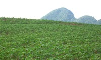 เวียดนามและญี่ปุ่นร่วมมือวิจัยปรับปรุงพันธุ์มันสำปะหลังให้มีผลผลิตสูง