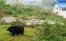 Ninh Binh sanctuary saves bears from bile farming