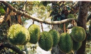 Perkenalan sepintas lintas tentang buah durian di Vietnam