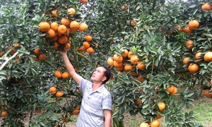 VietGAP farming standards help improve orange cultivation in Ha Giang