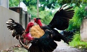 Memperkenalkan Permainan menyabung ayam