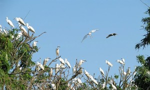 Chi Lăng Nam stork island in Hải Dương province