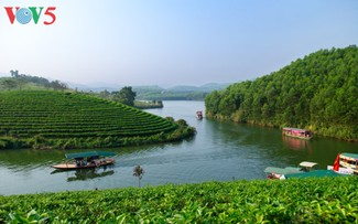Green tea island in Nghe An attracts visitors