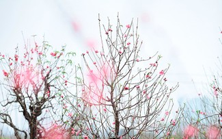 Украшение домов и офисов мандариновыми и персиковыми деревьями во время Тэта – неотъемлемая часть жизни вьетнамцев