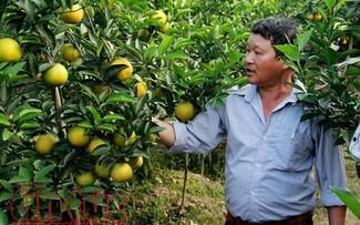 Hung Yen oranges win customers' trust