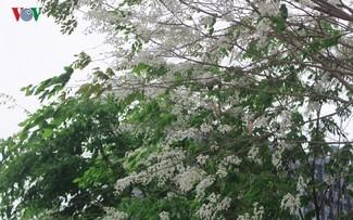 Sua flowers brighten Hanoi's streets