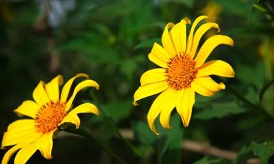 ฤดูดอกบัวตองที่ Ba Vì