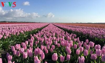 """Tưng bừng lễ hội hoa tulip """"Sắc màu Hà Lan"""""""