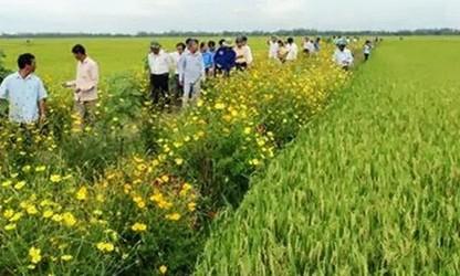 稲田の境界あぜに花を植えるモデル開発