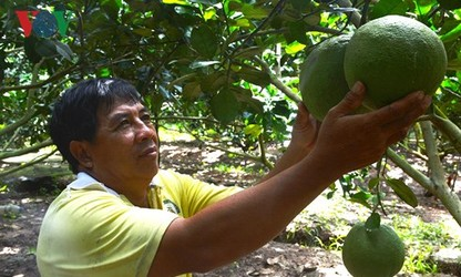 Крестьянин получает годовой доход от выращивания помело в более млрд донгов