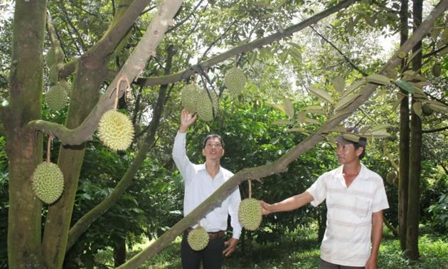 越南南方林同省榴莲价格创近几年新高