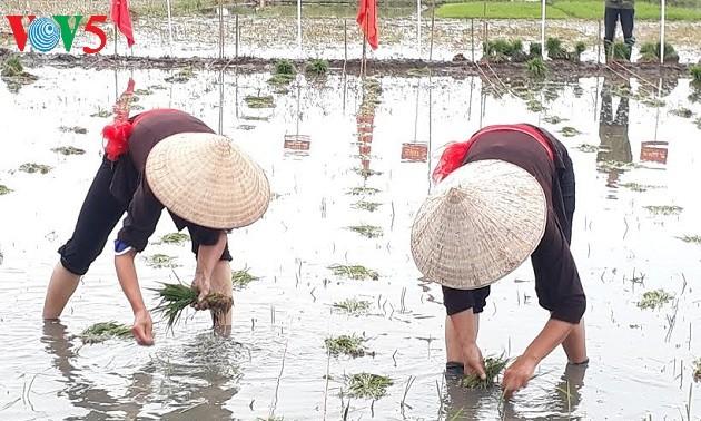 La fête rizicole estivale de Quang Yên