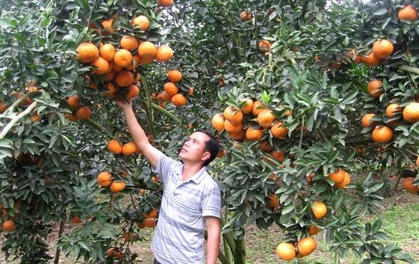 Kreis Quang Binh in Ha Giang entwickelt Orangenanbau nach VietGap-Standard