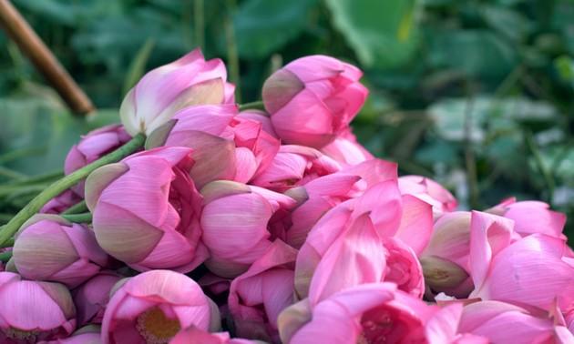 西湖莲花茶——河内的精粹