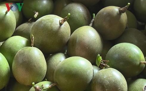 輸出向けパッションフルーツの栽培