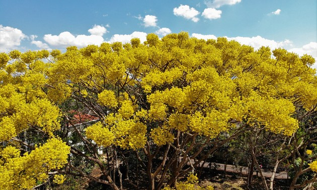 Bao Loc city sees stunning yellow-flamboyant flowers in full bloom