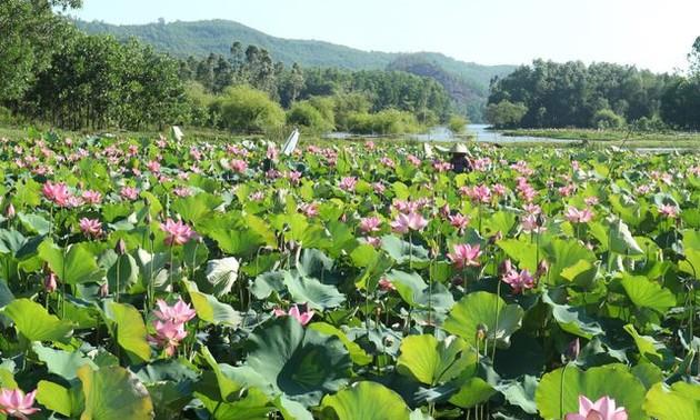 Exploring stunning lotus flower fields of Quang Nam