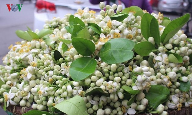 Hanoi filled with scent of grapefruit flowers