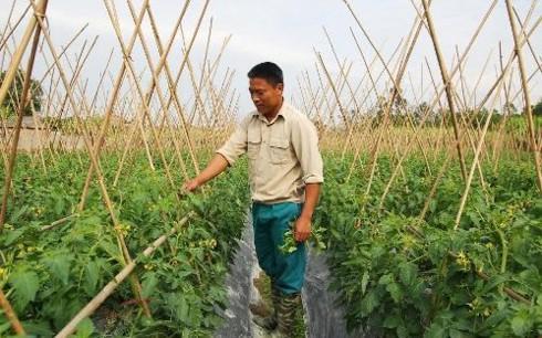 안전한 채소-과일 재배모형으로 성공한 도 쑤언 다이 서기