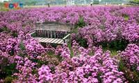 Ngắm thảo nguyên hoa giữa lòng Hà Nội