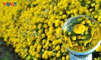 Ngắm vườn hoa cúc chi vàng rực ở Hưng Yên