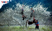 Đến Mộc Châu mùa hoa mận