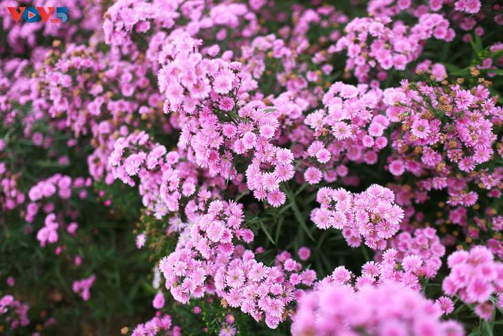 Ngắm thảo nguyên hoa giữa lòng Hà Nội - ảnh 11
