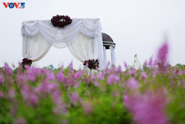 Ngắm thảo nguyên hoa giữa lòng Hà Nội - ảnh 3